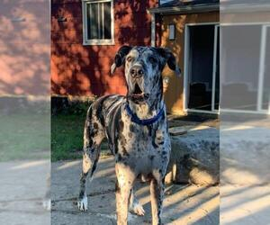 Great Dane Dogs for adoption in Silver Spring, MD, USA