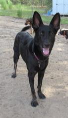German Shepherd Dog Dog For Adoption in Holly Springs, NC
