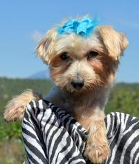 Maltese Dog For Adoption in Bon Carbo, CO, USA