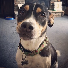 Border Collie-Jack Russell Terrier Mix Dog For Adoption in Blaine, MN, USA