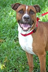 Boxer Dog For Adoption in Miami, FL