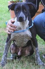 Beagle Mix Dog For Adoption in San Antonio, TX