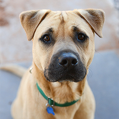 Labrador Retriever Dog For Adoption in Kanab, UT, USA