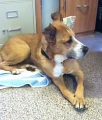 German Shepherd Dog Mix Dog For Adoption in Berkeley Springs, WV