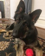 German Shepherd Dog dog