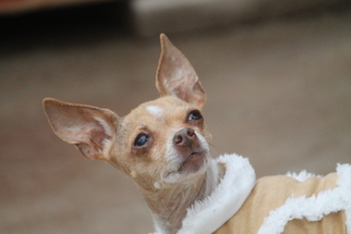Chihuahua Dog For Adoption in Benton, LA, USA