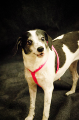Mutt Dog For Adoption in Lakeport, CA
