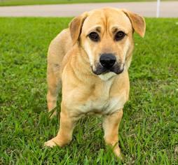 Bagle Hound Dog For Adoption in Missouri City, TX, USA