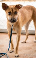 Labrador Retriever Mix Dog For Adoption in Alpharetta, GA, USA