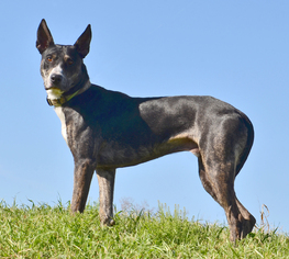 Greyhound-Ibizan Hound Mix Dog For Adoption in Denton, TX, USA