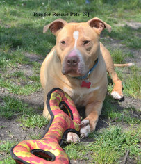 American Pit Bull Terrier-American Staffordshire Terrier Mix Dog For Adoption in Spring Lake, NJ