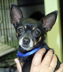 Chihuahua Dog For Adoption in Ventura, CA