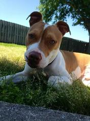 American Staffordshire Terrier Mix Dog For Adoption in Baton Rouge, LA, USA