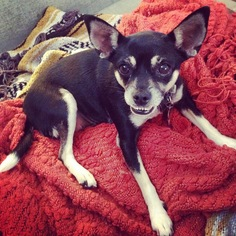 Chihuahua Mix Dog For Adoption in Los Angeles, CA
