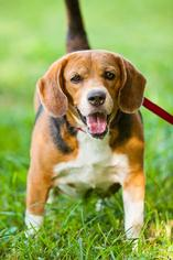 Beagle Dog For Adoption in Miami, FL