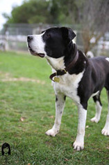 American Bulldog Mix Dog For Adoption in Ventura, CA, USA
