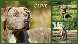 American Bulldog-Plott Hound Mix Dog For Adoption in Nashville, TN, USA