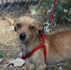 Chihuahua Mix Dog For Adoption in Austin, TX