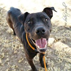 American Staffordshire Terrier-Chinese Shar-Pei Mix Dog For Adoption in Phoenix, AZ, USA