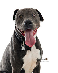 American Pit Bull Terrier-Greyhound Mix Dog For Adoption in Los Angeles, CA