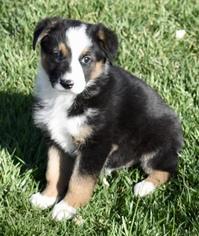 View Ad Australian Shepherd Bernese Mountain Dog Mix Dog