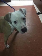 American Pit Bull Terrier Dog For Adoption in Savannah, NY