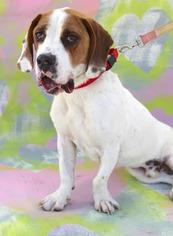 Basset Hound-Pointer Mix Dog For Adoption in El Cajon, CA, USA