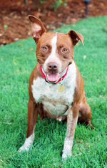 American Pit Bull Terrier Mix Dog For Adoption in Fremont, CA, USA