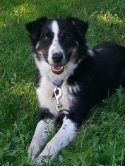 Collie Mix Dog For Adoption in Minneapolis, MN