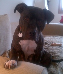 American Bulldog-American Staffordshire Terrier Mix Dog For Adoption in Phoenixville, PA