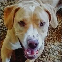 Basset Hound Mix Dog For Adoption in Shreveport, LA, USA