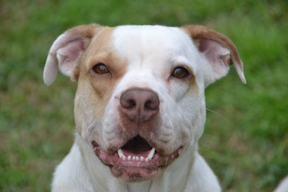 Bullboxer Pit Dog For Adoption in Pearland, TX