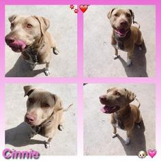 American Pit Bull Terrier Dog For Adoption in Rancho Santa Margarita, CA