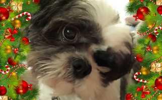 Shih Tzu Mix Dog For Adoption in Euless, TX, USA