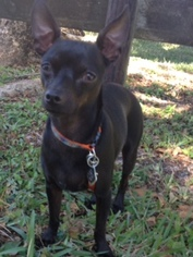 Rat-Cha Dog For Adoption in Davie, FL, USA