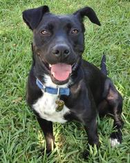 American Staffordshire Terrier-Labrador Retriever Mix Dog For Adoption in Missouri City, TX, USA