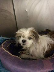 View Ad Shih Tzu Mix Dog For Adoption Missouri Kansas City Usa