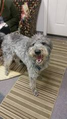 Labradoodle Dog For Adoption in Anchorage, AK