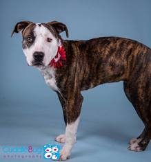American Pit Bull Terrier Mix Dog For Adoption in Irving, TX, USA