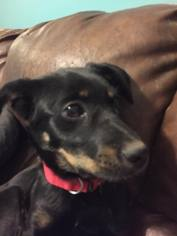 Rottweiler Mix Dog For Adoption in Christiana, TN, USA