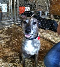 Mutt Dog For Adoption in Colfax, IL, USA
