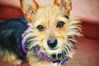 Australian Terrier Mix Dog For Adoption in Milpitas, CA, USA