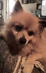 Pomeranian Dog For Adoption in Lawton, OK, USA