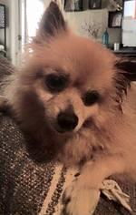 Pomeranian Dog For Adoption in Lawton, OK