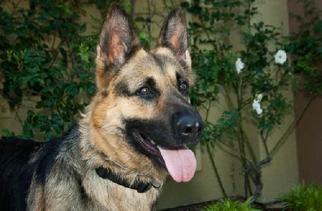 German Shepherd Dog Dog For Adoption in Newport Beach, CA, USA