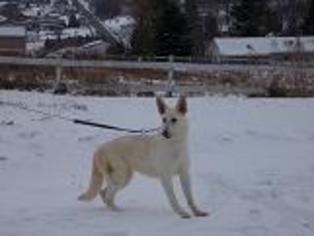 German Shepherd Dog Dog For Adoption in Tully, NY