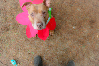 American Staffordshire Terrier Dog For Adoption in Junction Cityu, OR, USA