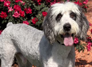 Old English Sheepdog Dogs for adoption in Palo Alto, CA, USA