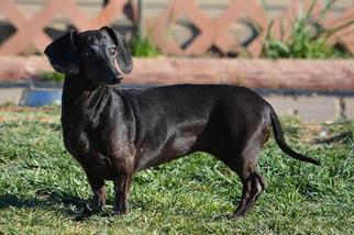 Dachshund Dog For Adoption in Hesperia, CA, USA