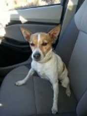 Rat Terrier Dog For Adoption in Winder, GA, USA